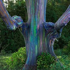 "Rainbow Eucalyptus"" Hana, Maui, Hawaii  The unusual phenomenon is caused by patches of bark shedding at different times. The different colours are therefore indicators of the age of the bark: Freshly shed outer bark will reveal the bright green inner bark. This darkens over time and changes from blue to purple and then reaches orange and maroon tones."