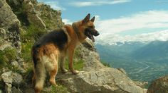 shepherd dogs pictures