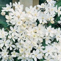Clematis armandii | Thompson & Morgan - blooming evergreen vine for shade!!! Spring fregrance!