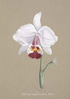 Collection d'orchidées - [author & publication date unknown] - Biodiversity Heritage Library