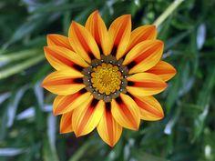 Gazania, or treasure flower, is a daisy-like South African annual flower