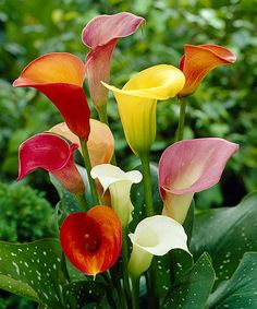 Van Zyverden Mixed Colors Callas Bulb - Set of Eight | zulily
