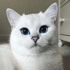meet Coby–a cat with amazingly gorgeous blue eyes!