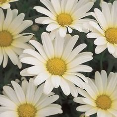 Buy Argyranthemum Vanilla Butterfly Annual Plants Online. Garden Crossings  Online Garden Center Offers A Large