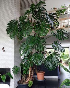 House Plants Decor, Plant Decor, Hanging Plants, Indoor Plants, Diy Plante, Plant Delivery, Living Vintage, Monstera Deliciosa, Rare Plants