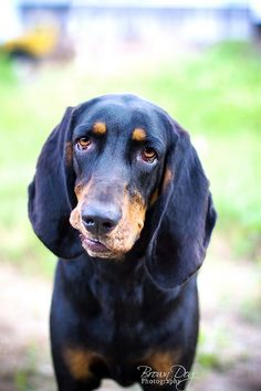 Black and Tan Coonhound by KerrieT, via Flickr