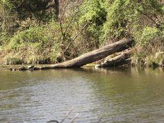Turtles sunning a log.