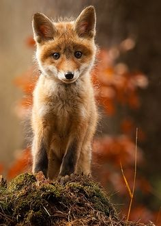 Red Fox Cub by Robert Adamec