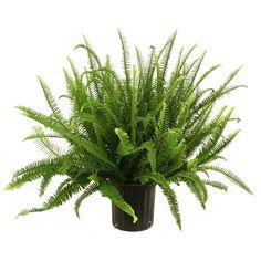 feng shui indoor plants - queen fern #fengshui #gardening