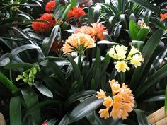 Clivia's blooming