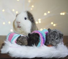 Even guinea pigs get maternity shoots. Look at that proud mama! Good job Jennifuzz!