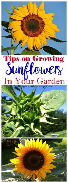 5 Tips on How to Grow Sunflowers in Your Garden - Thursday's Tip How To Grow Sunflowers, Growing Sunflowers From Seed, Growing Sunflowers Outdoors, Easy To Grow Flowers, Growing Flowers, Perrinial Garden, How To Garden, Spring Garden, Easy Garden