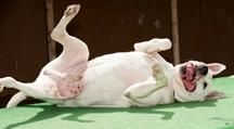 Max is an adoptable American Bulldog Dog in Hyde Park, NY. MAX - THIS BIG BOY IS AWESOME ... TO THE MAX!!! Although Max seems to have had a rough start to his life, He is now healthy and is starting t...