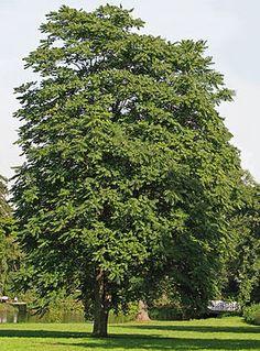 Ailanthus altissima -- Hemelboom -- samengesteld geveerd blad -- pioniersplant -- niet inheems in België -- jammer dat hij zo groot wordt