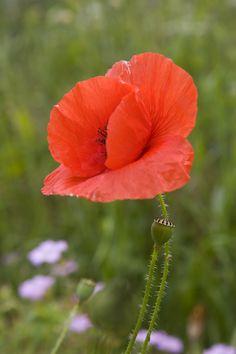 field_poppy_papaver_rhoeas_in_meadow.jpg (2336×3504)