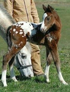 Cute little Appaloosa foal. Baby Horses, Cute Horses, Pretty Horses, Horse Love, Beautiful Horses, Animals Beautiful, Hello Beautiful, Cute Baby Animals, Funny Animals