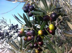 Olive a fine raccolto