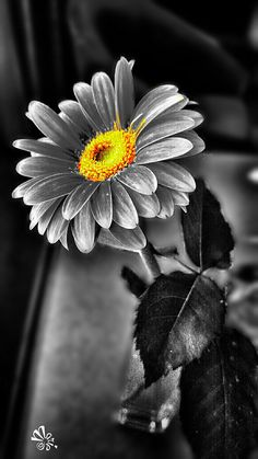 Trendy Flowers Photography Wallpaper Black And White Color Splash Splash Photography, Color Photography, Black And White Photography, Photography Flowers, Photography Women, Black And White Colour, Black And White Pictures, White Art, Color Yellow