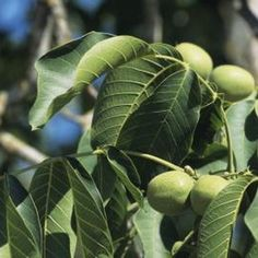 How to Plant and Grow Black Walnut Trees from Seeds