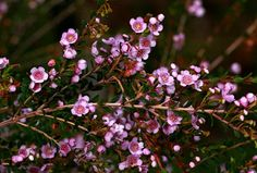 paynes rock thryptomene - Thryptomene saxicola 'paynes' - grows 1m high x 1.5-2m wide. from kuranga native nursery