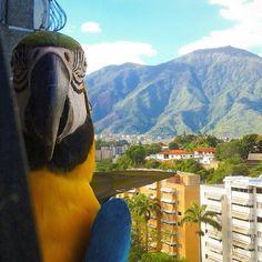 Guacamayas en El Cafetal - Caracas
