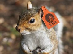 No, that's not a fashion accessory. That's our tracking tag to make sure this little guy stays, y'know...saved. #SaveOurSquirrels