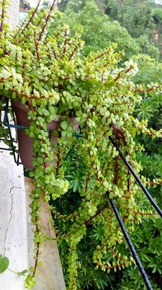 Elephant bush hanging pretty