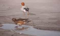 A Pair Of Wigeon by Terence O'Connell on ArtClick.ie