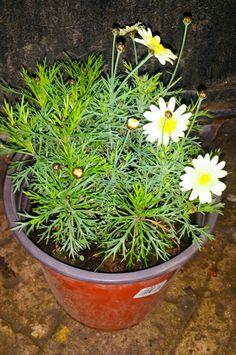 """""""Paquerette, Margarita, Margaritón --  Chrysanthemum frutescens """" - Nombre científico o latino: Chrysanthemum frutescens  - Nombre común o vulgar: Paquerette, Margarita, Margaritón. - Familia: Compuestas. - Origen: Islas Canarias. - Características: arbusto leñoso de 0,50 a 1,50 metros de altura, muy ramificado y copa globosa. - Hojas: bipinadas de 5-10 cm de largo. - Flores: capítulo de 3-5 cm de diámetro con flores centrales amarillas y flores perisféricas, generalmente liguladas, de…"""