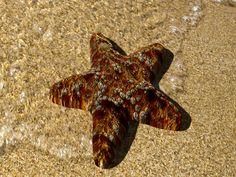 Estrella de mar. Modelada amb Blender.