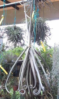 Tillandsia Duratii on SALE - $14.99 only. Get your air plant at plantsandbeautifulthings.com/shop/air-plants/tillandsia-duratii/