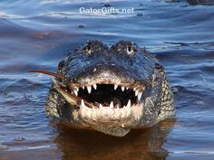 Visit GatorGifts.net for more cool gator photos and videos