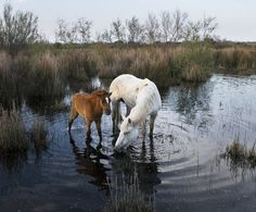 Huts Cacharel - photo gallery Camargue horses