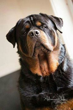 Awesome #big #Rottweiler <3