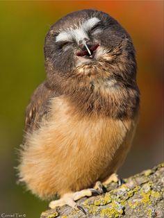 Coruja feliz