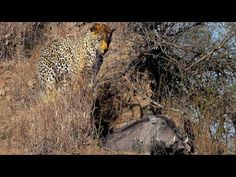 Graphic content: Leopard nabs warthog from its burrow | predator-vs-prey | Earth Touch News