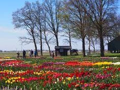 tulpen in de polder dat moet je gezien hebben