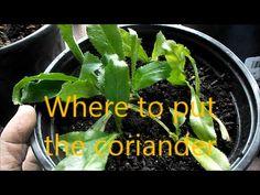 Where to put the coriander