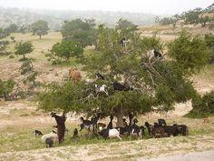 Goats in Argan trees1 -