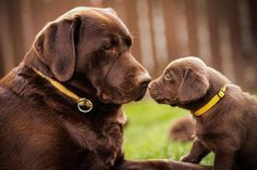 sweetness overload!! (English Chocolate Lab)
