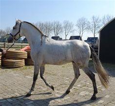 Paarden te koop: San Ares