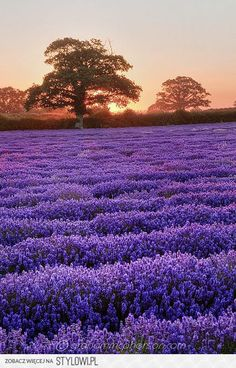 Field of lavender. Lavender Garden, Lavender Fields, Lavender Color, Lavender Flowers, Flowers Nature, Purple Flowers, Beautiful Flowers, Color Lila, Purple Love