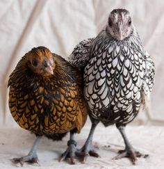 golden and black laced wyandottes. We have black laced wyandotts. They're really friendly birds. Hen Chicken, Chicken Lady, Diy Chicken Coop, Bantam Chickens, Chickens And Roosters, Beautiful Chickens, Beautiful Birds, Gallus Gallus Domesticus, Chicken Pictures