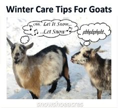 Tips for keeping goats & newborns warm & healthy during freezing cold winter weather & storms. visit snowshoeacres.com