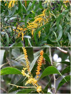 Akash Moni + Acacia auriculiformis -আকাশমনি, একাশি, একাশিয়া