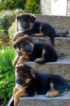 Adorables petits chiens