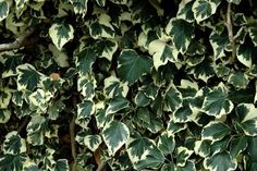 Lierre: planter et tailler – ComprendreChoisir
