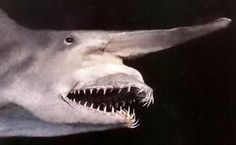 Goblin Shark--pretty creepy looking!