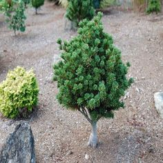 Pinus parviflora Adcocks Dwarf Full sun * Zones * tall * wide Award of Garden Merit from the Royal Horticultural Society! Excellent for bonsai! Plants, Garden Elements, Grafting, Dwarf Trees For Landscaping, Dwarf Trees, Backyard Garden, Japanese Garden, Shrubs, Landscaping Plants