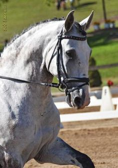Carnaval - Beautiful imported Lusitano gelding. A horse for the Grand Prix at only 8-years-old. Successfully shown through 3rd an 4th level scoring in the high 60's. Schooling Prix St Georges, in a snaffle. with piaffe, pirouettes and all lateral work in! The future is bright and will excel in a program with an AA, Pro or JR. $70,000